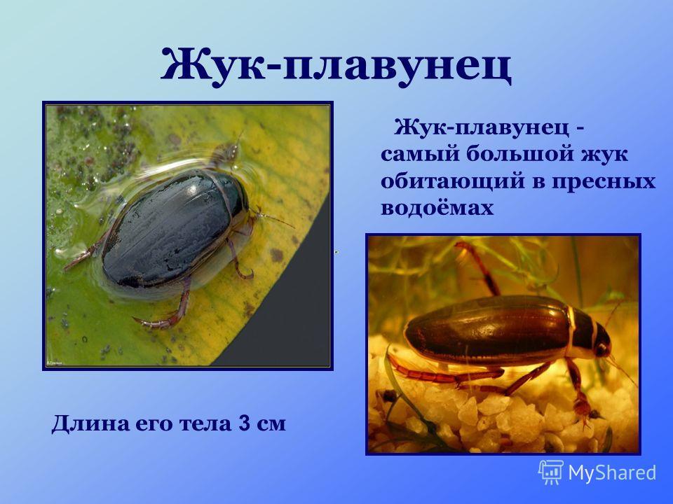 Жук-плавунец Жук-плавунец - самый большой жук обитающий в пресных водоёмах Длина его тела 3 см