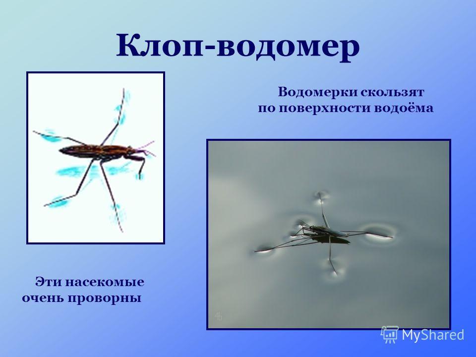Клоп-водомер Водомерки скользят по поверхности водоёма Эти насекомые очень проворны