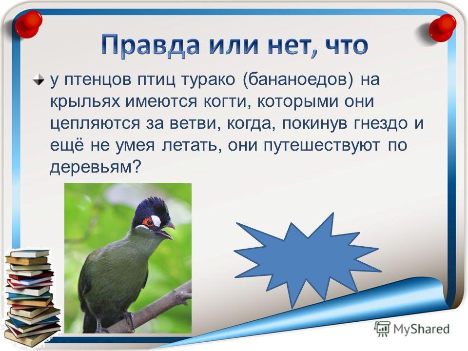 у птенцов птиц турако (бананоедов) на крыльях имеются когти, которыми они цепляются за ветви, когда, покинув гнездо и ещё не умея летать, они путешествуют по деревьям?