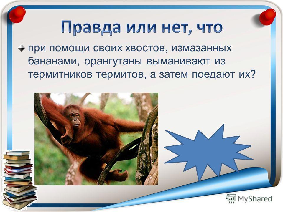 при помощи своих хвостов, измазанных бананами, орангутаны выманивают из термитников термитов, а затем поедают их? неправда