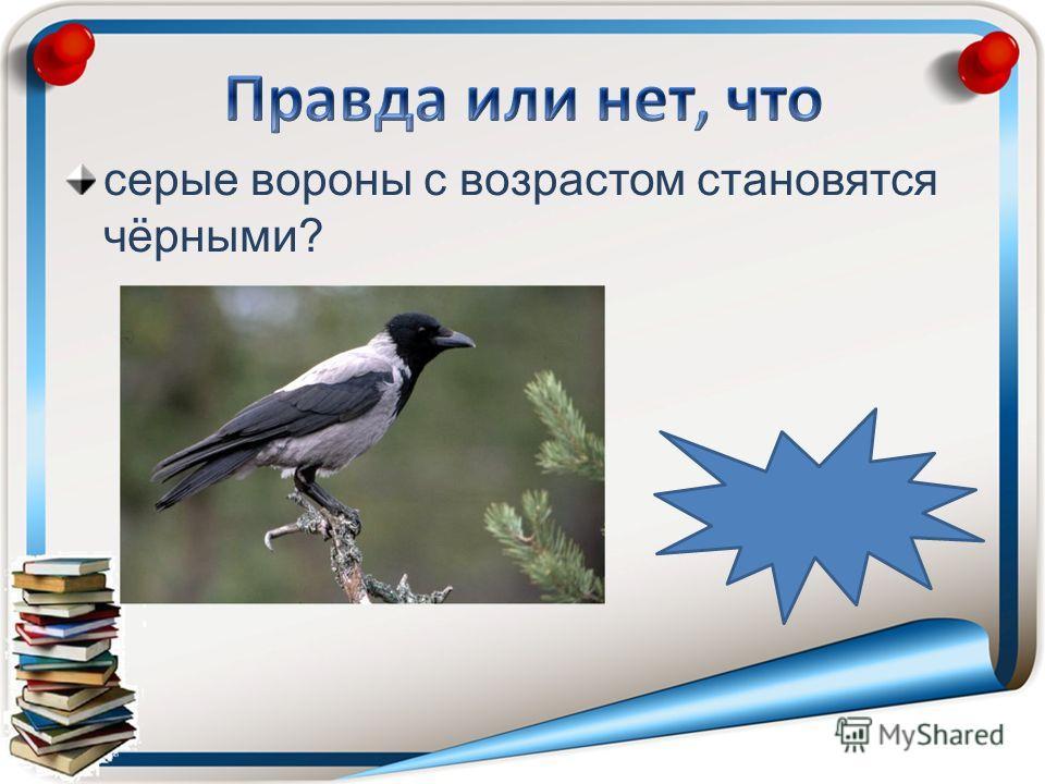 серые вороны с возрастом становятся чёрными?