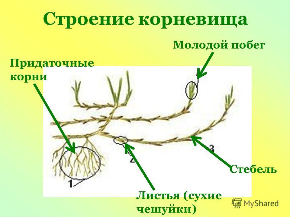 Строение корневища Молодой побег Придаточные корни Листья (сухие чешуйки) Стебель