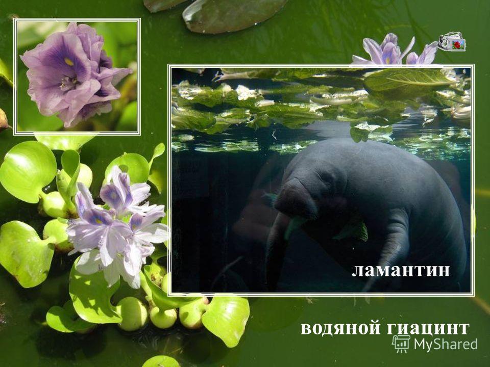 водяной гиацинт ламантин