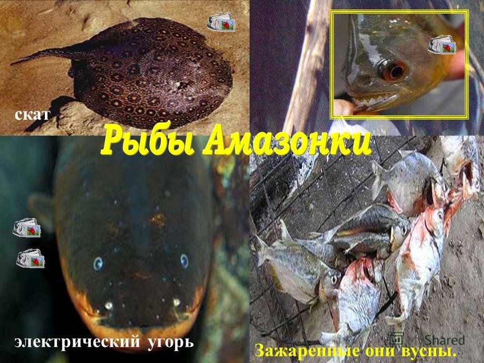 электрический угорь скат Самые известные и опасные рыбы - пираньи. Зажаренные они вусны.