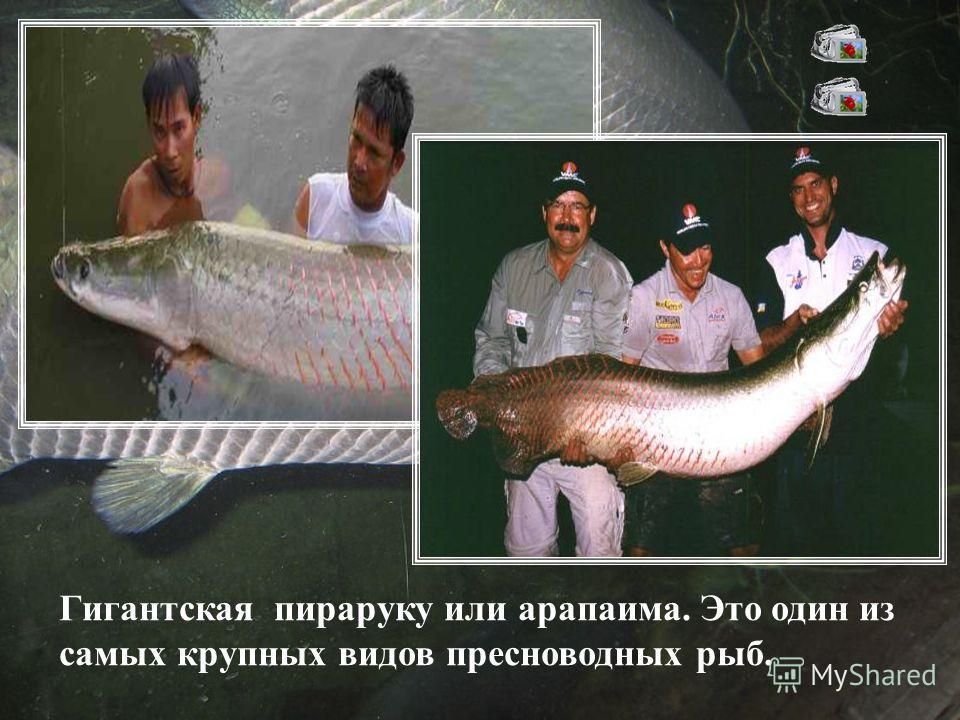 Гигантская пираруку или арапаима. Это один из самых крупных видов пресноводных рыб.