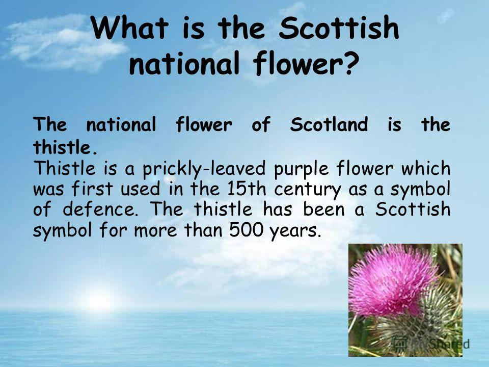 The national flower of Scotland is the thistle. Thistle is a prickly-leaved purple flower which was first used in the 15th century as a symbol of defence. The thistle has been a Scottish symbol for more than 500 years. What is the Scottish national f