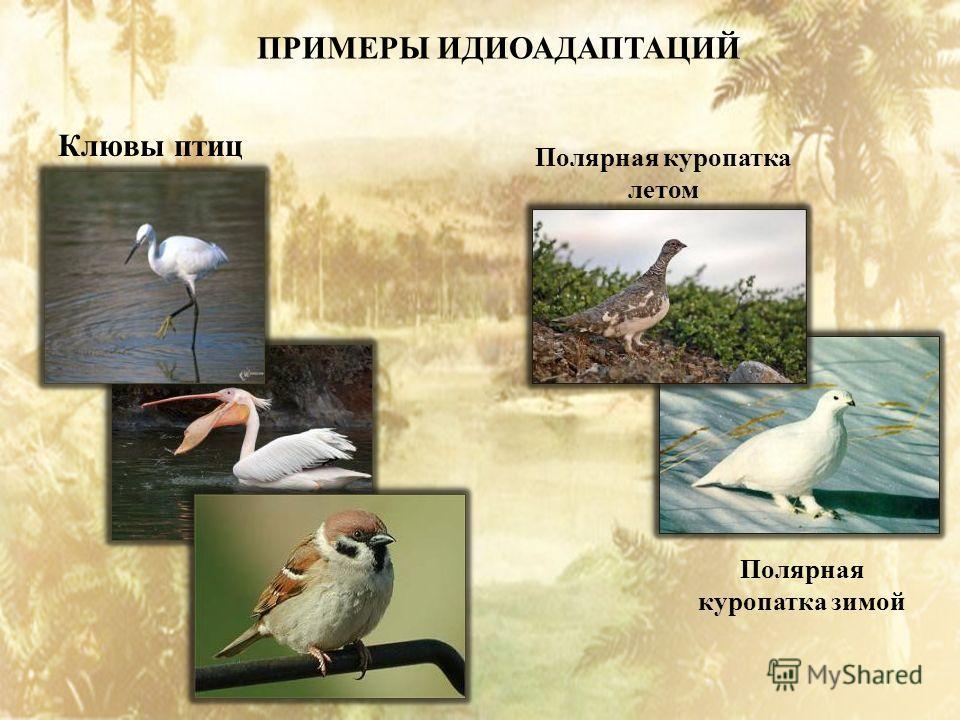 ПРИМЕРЫ ИДИОАДАПТАЦИЙ Клювы птиц Полярная куропатка летом Полярная куропатка зимой