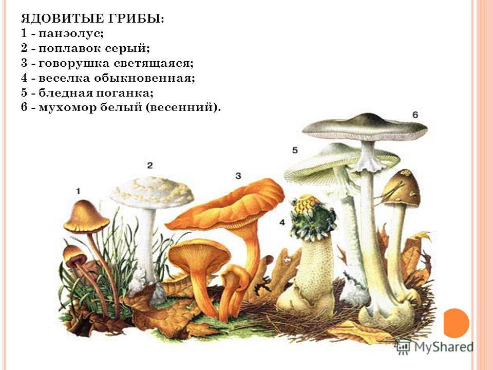 ЯДОВИТЫЕ ГРИБЫ: 1 - панэолус; 2 - поплавок серый; 3 - говорушка светящаяся; 4 - веселка обыкновенная; 5 - бледная поганка; 6 - мухомор белый (весенний).