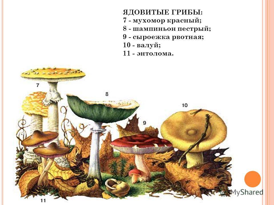 ЯДОВИТЫЕ ГРИБЫ: 7 - мухомор красный; 8 - шампиньон пестрый; 9 - сыроежка рвотная; 10 - валуй; 11 - энтолома.