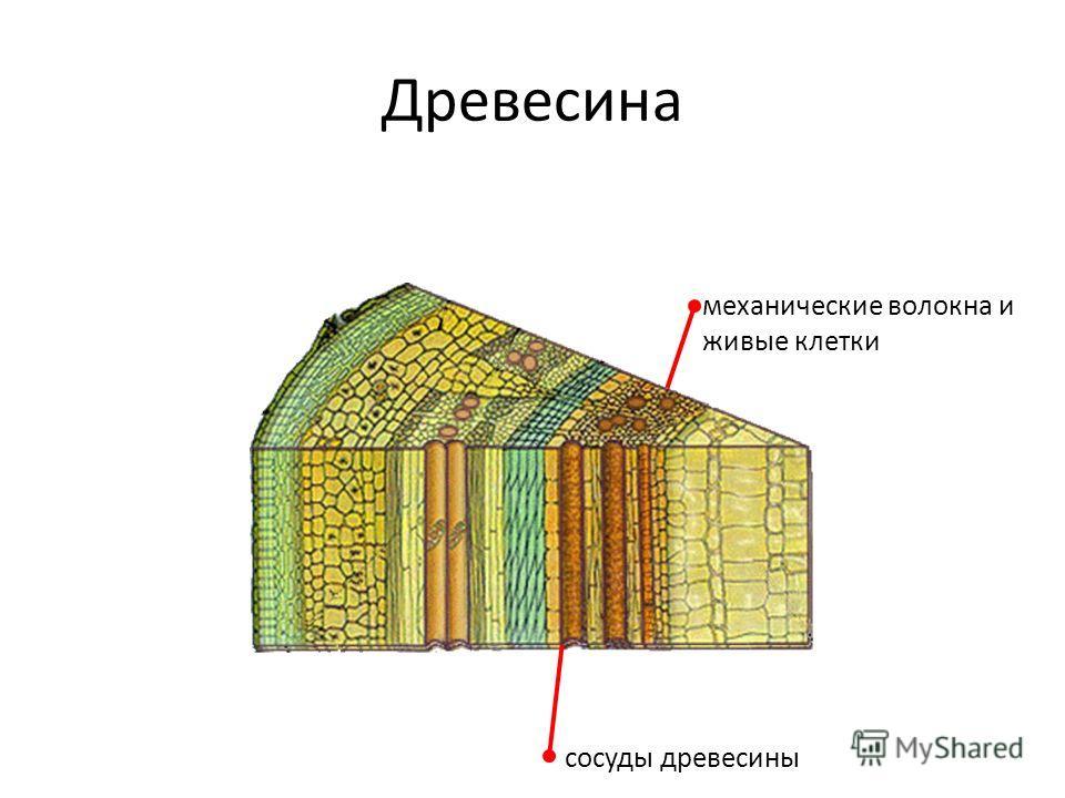 Древесина сосуды древесины механические волокна и живые клетки