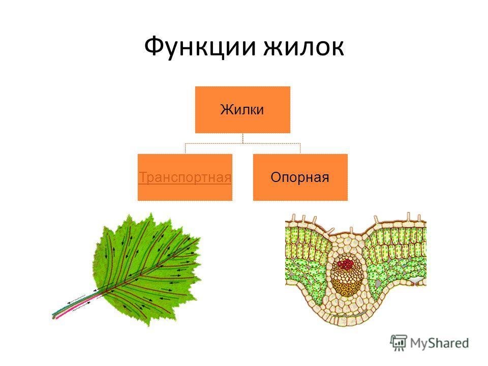 Функции жилок Жилки ТранспортнаяОпорная