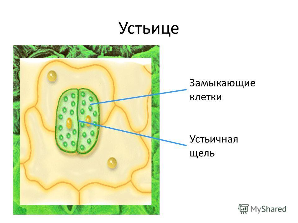 Устьице Замыкающие клетки Устьичная щель