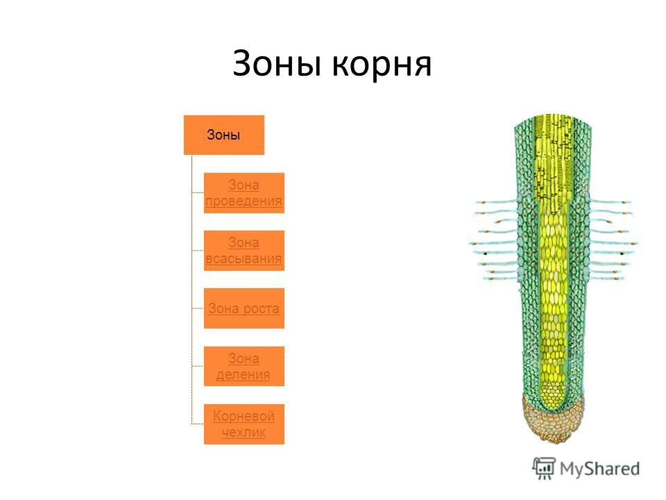 Зоны корня Зоны Зона проведения Зона всасывания Зона роста Зона деления Корневой чехлик