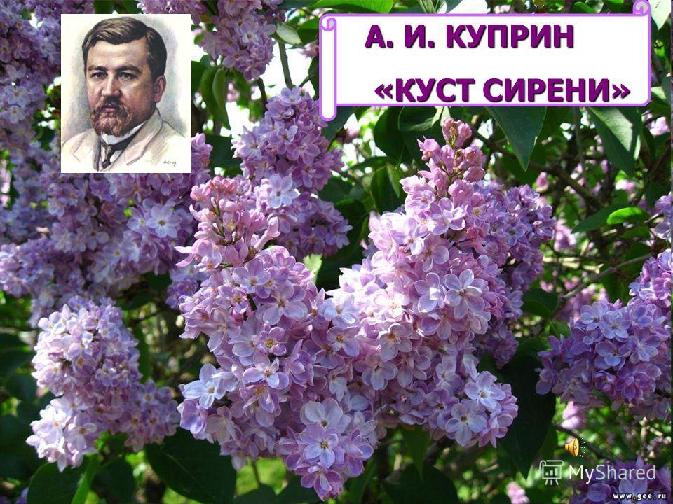 А. И. КУПРИН «КУСТ СИРЕНИ» «КУСТ СИРЕНИ»