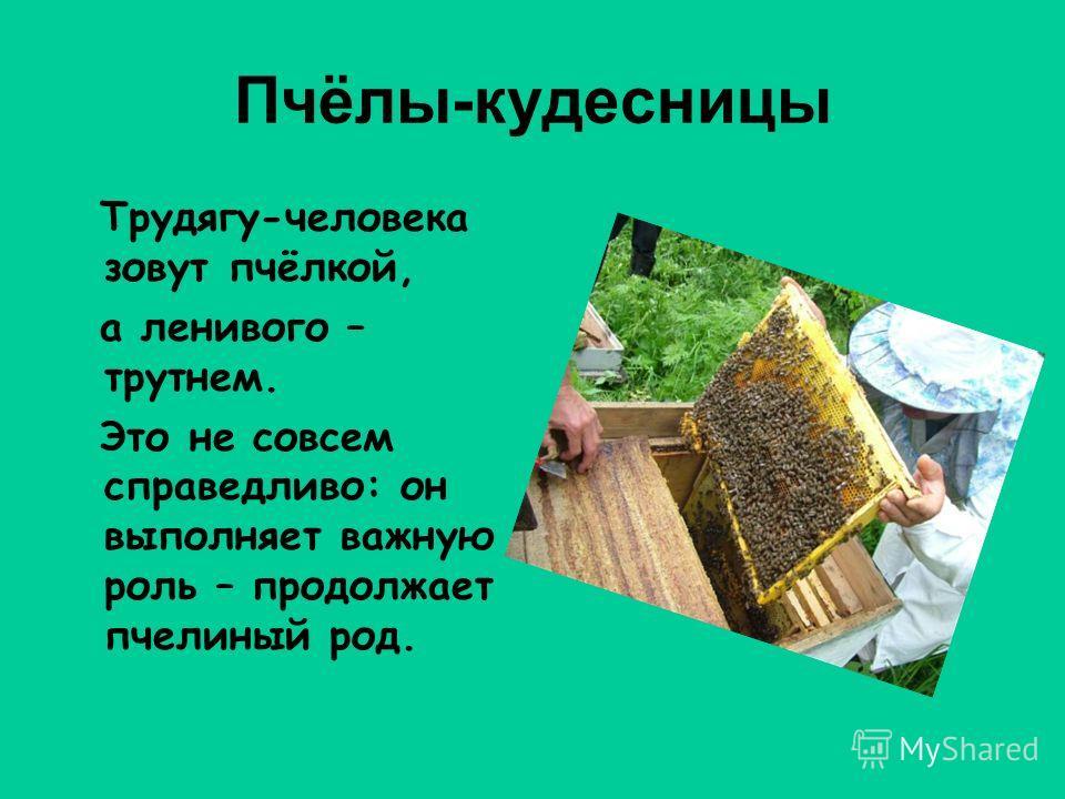 Пчёлы-кудесницы Трудягу-человека зовут пчёлкой, а ленивого – трутнем. Это не совсем справедливо: он выполняет важную роль – продолжает пчелиный род.