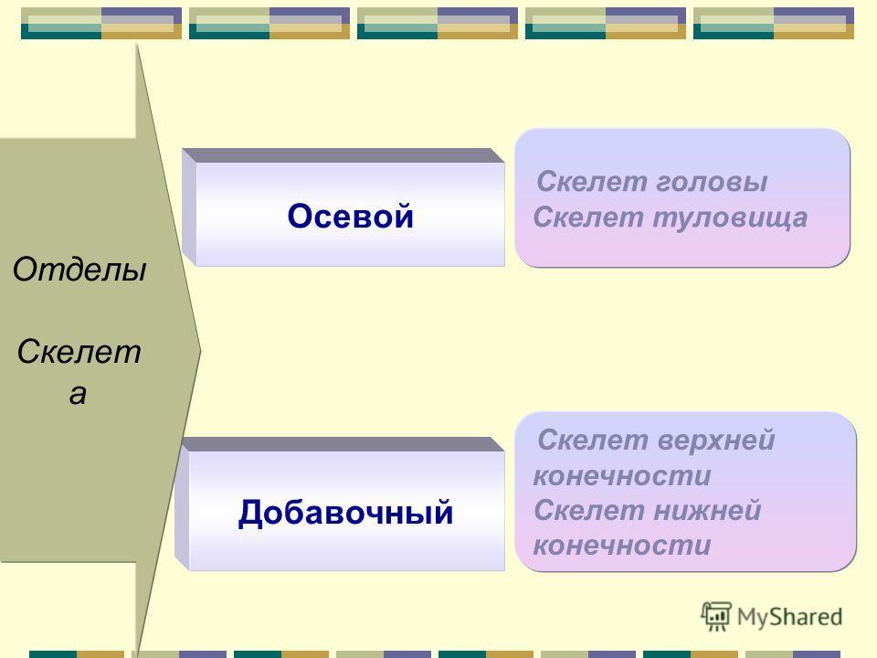 Добавочный Скелет верхней конечности Скелет нижней конечности Отделы Скелет а Осевой Скелет головы Скелет туловища