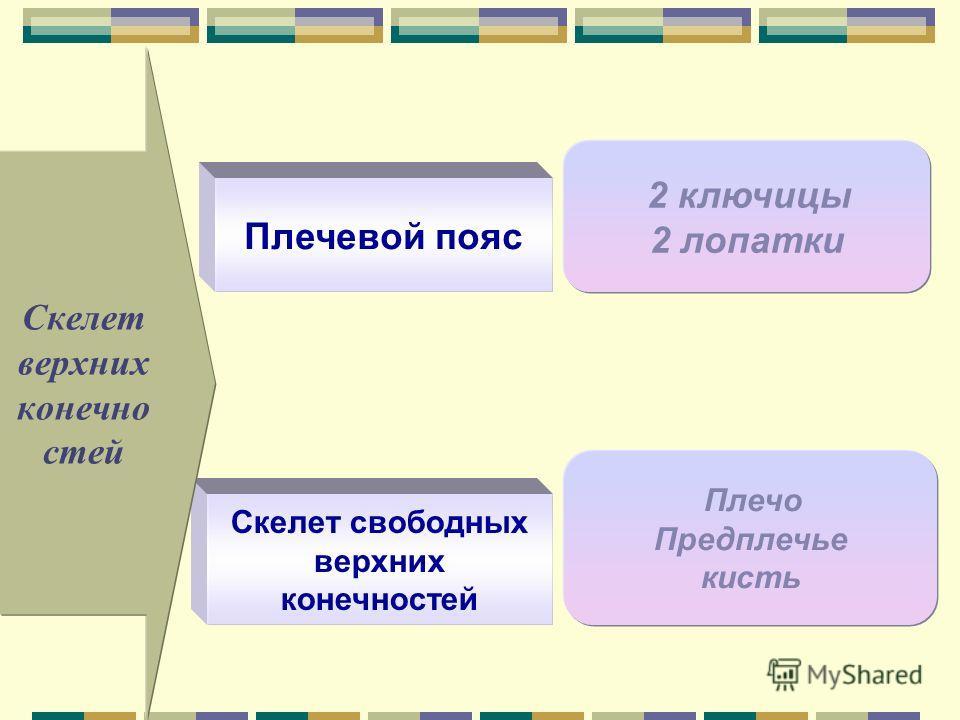 Скелет свободных верхних конечностей Плечо Предплечье кисть Плечевой пояс 2 ключицы 2 лопатки Скелет верхних конечно стей