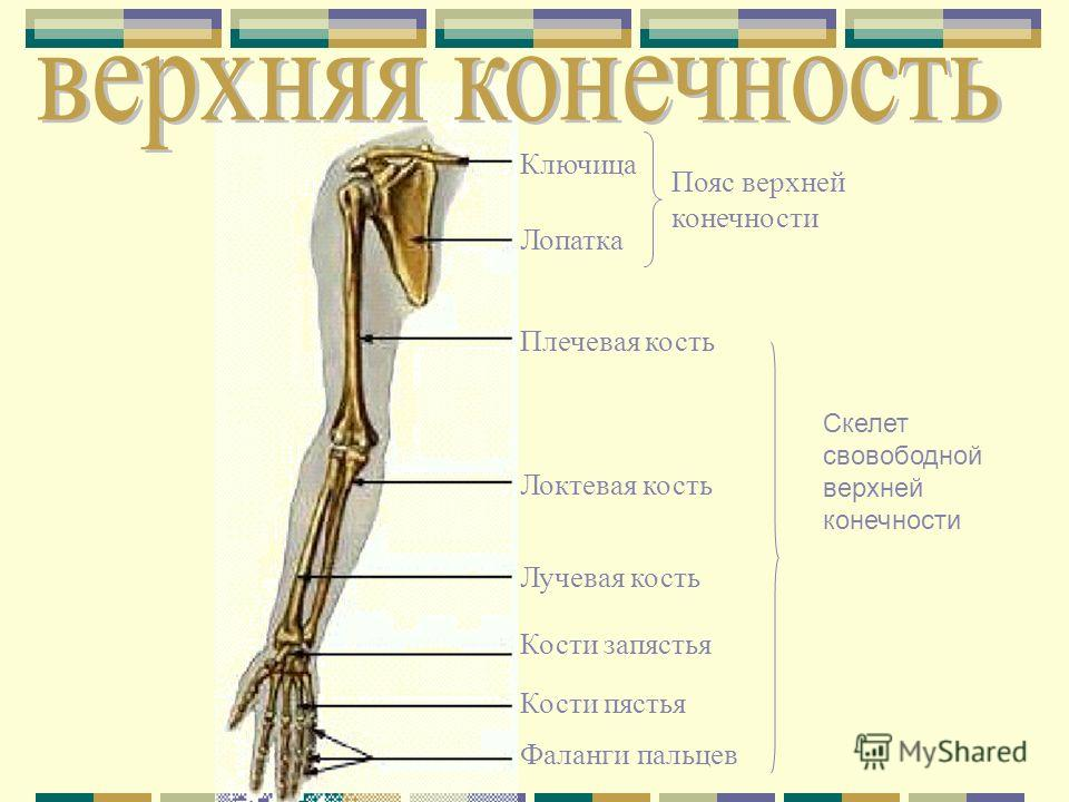 Ключица Лопатка Плечевая кость Локтевая кость Лучевая кость Кости запястья Кости пястья Фаланги пальцев Пояс верхней конечности Скелет свовободной верхней конечности