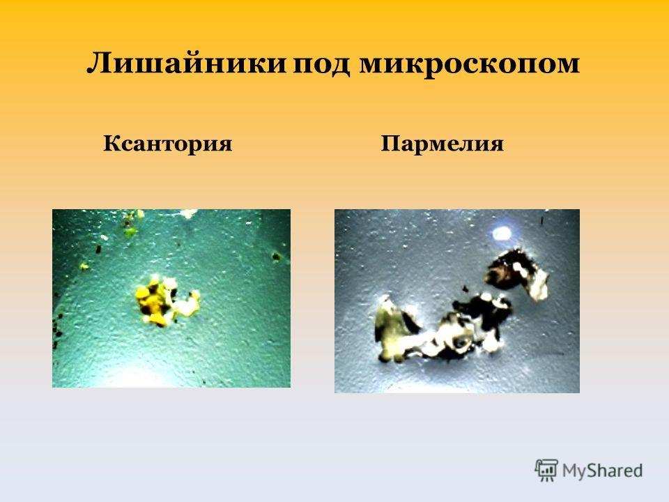 Лишайники под микроскопом Ксантория Пармелия