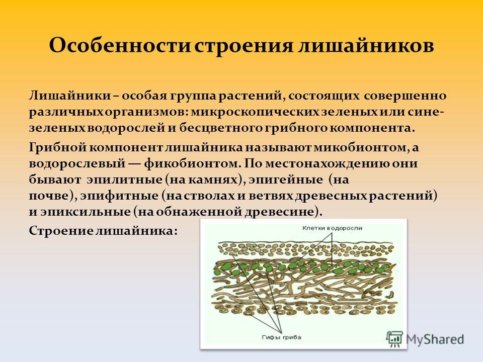 Особенности строения лишайников Лишайники – особая группа растений, состоящих совершенно различных организмов: микроскопических зеленых или сине- зеленых водорослей и бесцветного грибного компонента. Грибной компонент лишайника называют микобионтом,