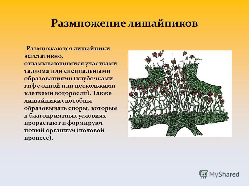 Размножение лишайников Размножаются лишайники вегетативно, отламывающимися участками таллома или специальными образованиями (клубочками гиф с одной или несколькими клетками водоросли). Также лишайники способны образовывать споры, которые в благоприят