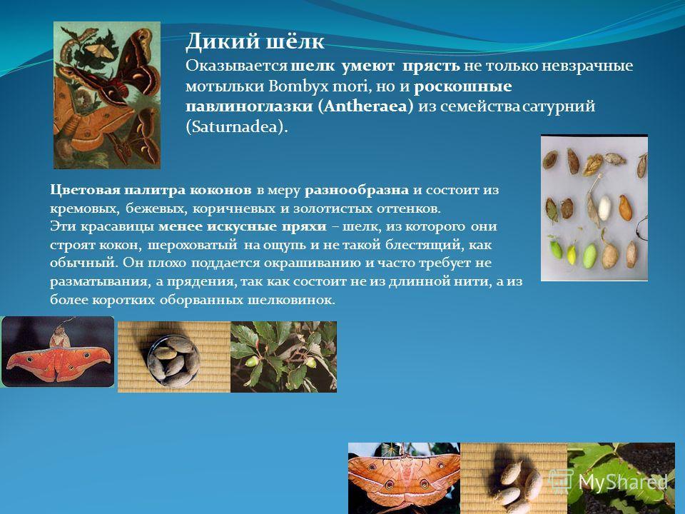 Дикий шёлк Оказывается шелк умеют прясть не только невзрачные мотыльки Bombyx mori, но и роскошные павлиноглазки (Antheraea) из семейства сатурний (Saturnadea). Цветовая палитра коконов в меру разнообразна и состоит из кремовых, бежевых, коричневых и
