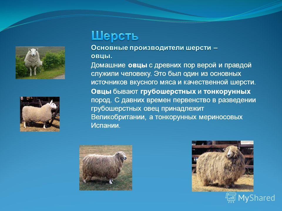 Домашние овцы с древних пор верой и правдой служили человеку. Это был один из основных источников вкусного мяса и качественной шерсти. Овцы бывают грубошерстных и тонкорунных пород. С давних времен первенство в разведении грубошерстных овец принадлеж