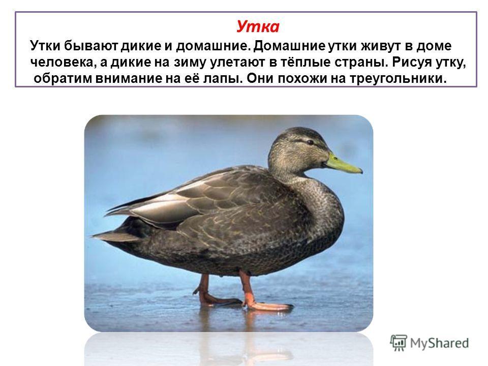 Утка Утки бывают дикие и домашние. Домашние утки живут в доме человека, а дикие на зиму улетают в тёплые страны. Рисуя утку, обратим внимание на её лапы. Они похожи на треугольники.