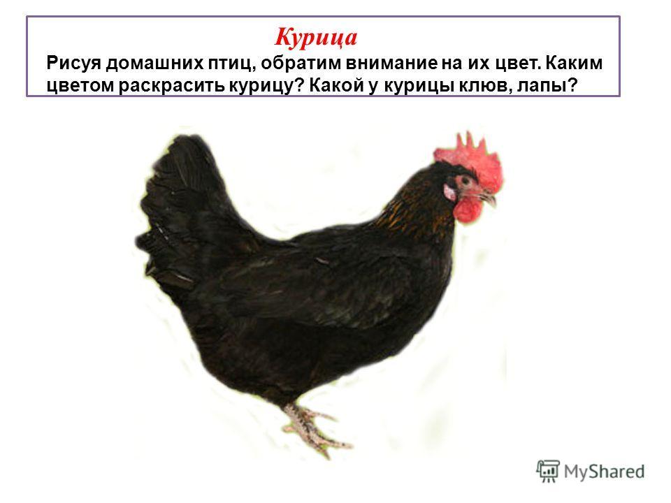 Курица Рисуя домашних птиц, обратим внимание на их цвет. Каким цветом раскрасить курицу? Какой у курицы клюв, лапы?