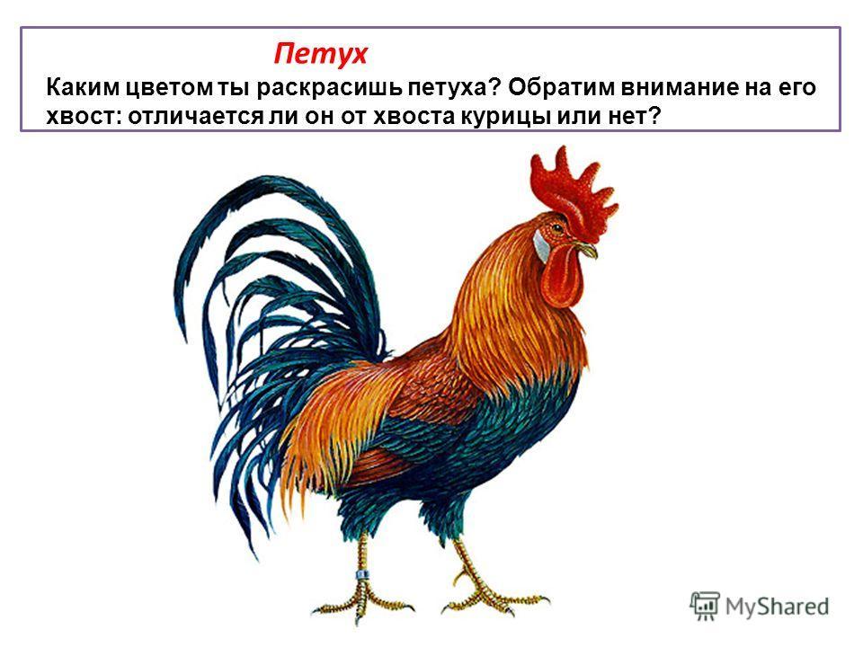 Петух Каким цветом ты раскрасишь петуха? Обратим внимание на его хвост: отличается ли он от хвоста курицы или нет?