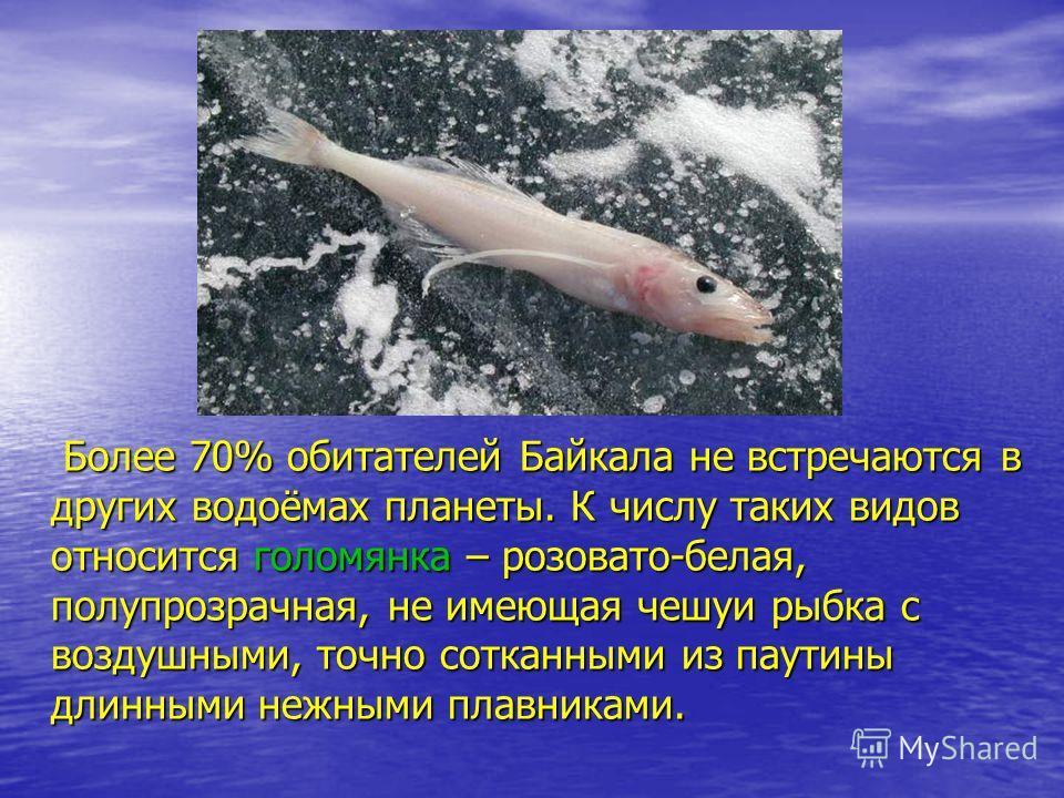 Более 70% обитателей Байкала не встречаются в других водоёмах планеты. К числу таких видов относится голомянка – розовато-белая, полупрозрачная, не имеющая чешуи рыбка с воздушными, точно сотканными из паутины длинными нежными плавниками. Более 70% о
