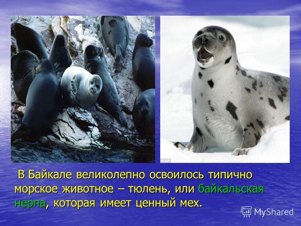 В Байкале великолепно освоилось типично морское животное – тюлень, или байкальская нерпа, которая имеет ценный мех. В Байкале великолепно освоилось типично морское животное – тюлень, или байкальская нерпа, которая имеет ценный мех.