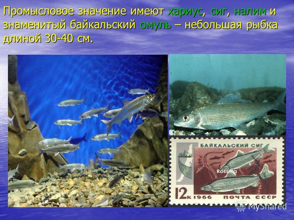 Промысловое значение имеют хариус, сиг, налим и знаменитый байкальский омуль – небольшая рыбка длиной 30-40 см.