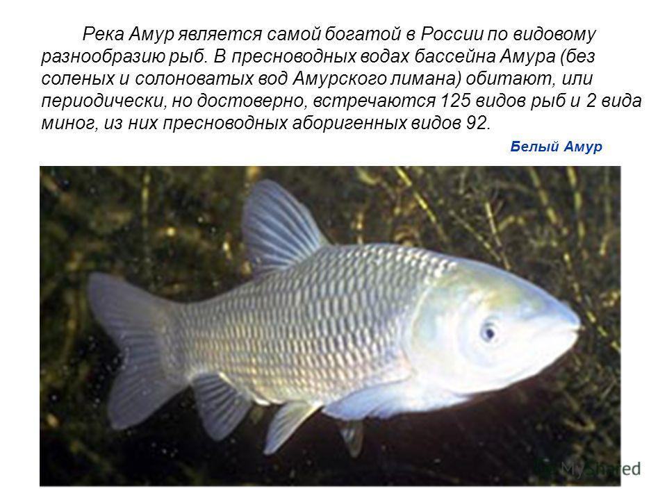 Белый Амур Река Амур является самой богатой в России по видовому разнообразию рыб. В пресноводных водах бассейна Амура (без соленых и солоноватых вод Амурского лимана) обитают, или периодически, но достоверно, встречаются 125 видов рыб и 2 вида миног