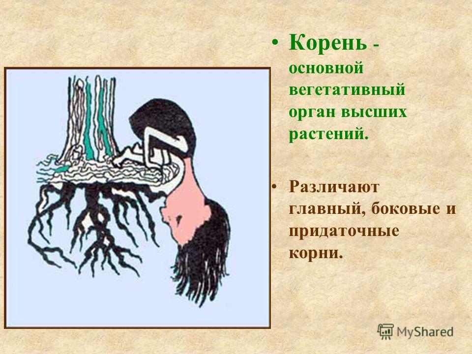 Корень - основной вегетативный орган высших растений. Различают главный, боковые и придаточные корни.