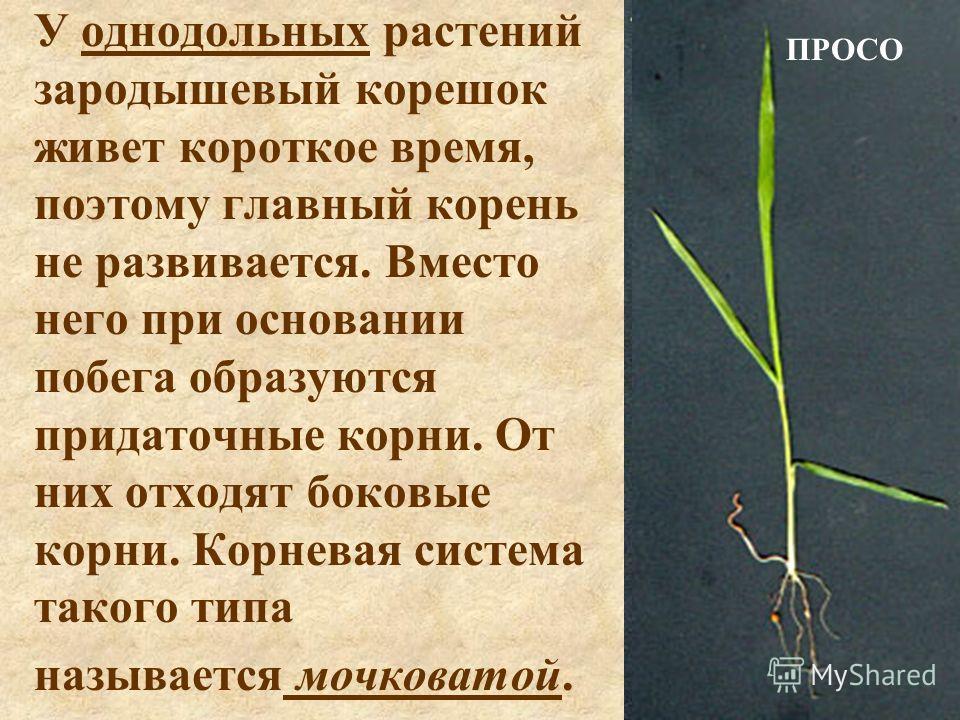 У однодольных растений зародышевый корешок живет короткое время, поэтому главный корень не развивается. Вместо него при основании побега образуются придаточные корни. От них отходят боковые корни. Корневая система такого типа называется мочковатой. П