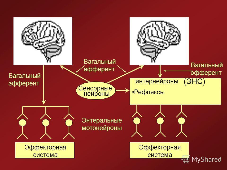 Сенсорные интернейроны нейроны Рефлексы Энтеральные мотонейроны Эффекторная система Вагальный афферент Вагальный эфферент (ЭНС)