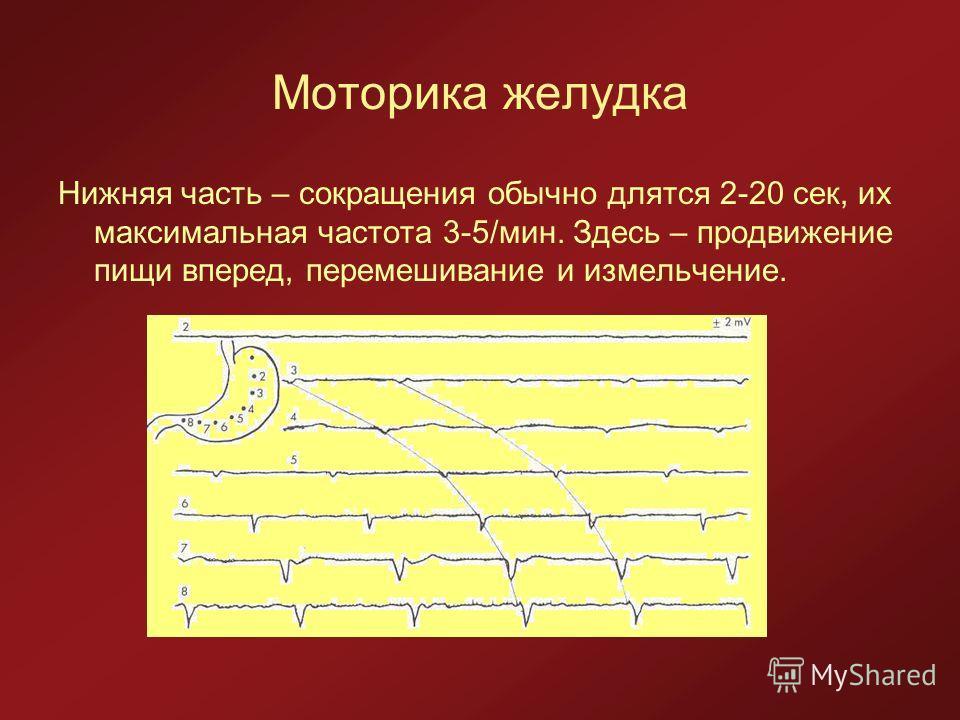 Моторика желудка Нижняя часть – сокращения обычно длятся 2-20 сек, их максимальная частота 3-5/мин. Здесь – продвижение пищи вперед, перемешивание и измельчение.