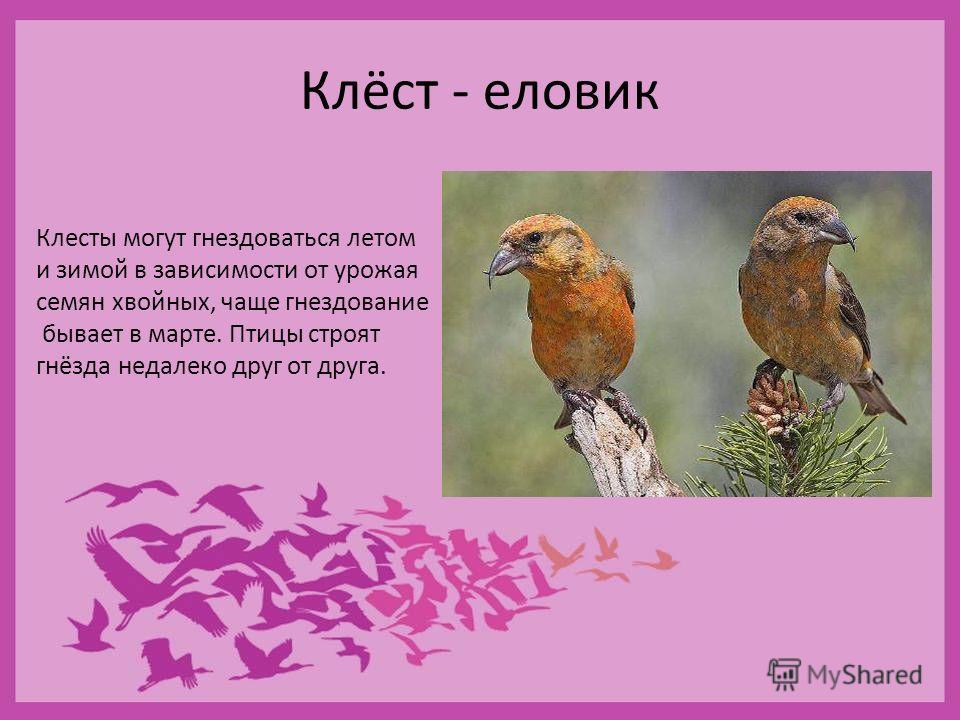Клёст - еловик Клесты могут гнездоваться летом и зимой в зависимости от урожая семян хвойных, чаще гнездование бывает в марте. Птицы строят гнёзда недалеко друг от друга.