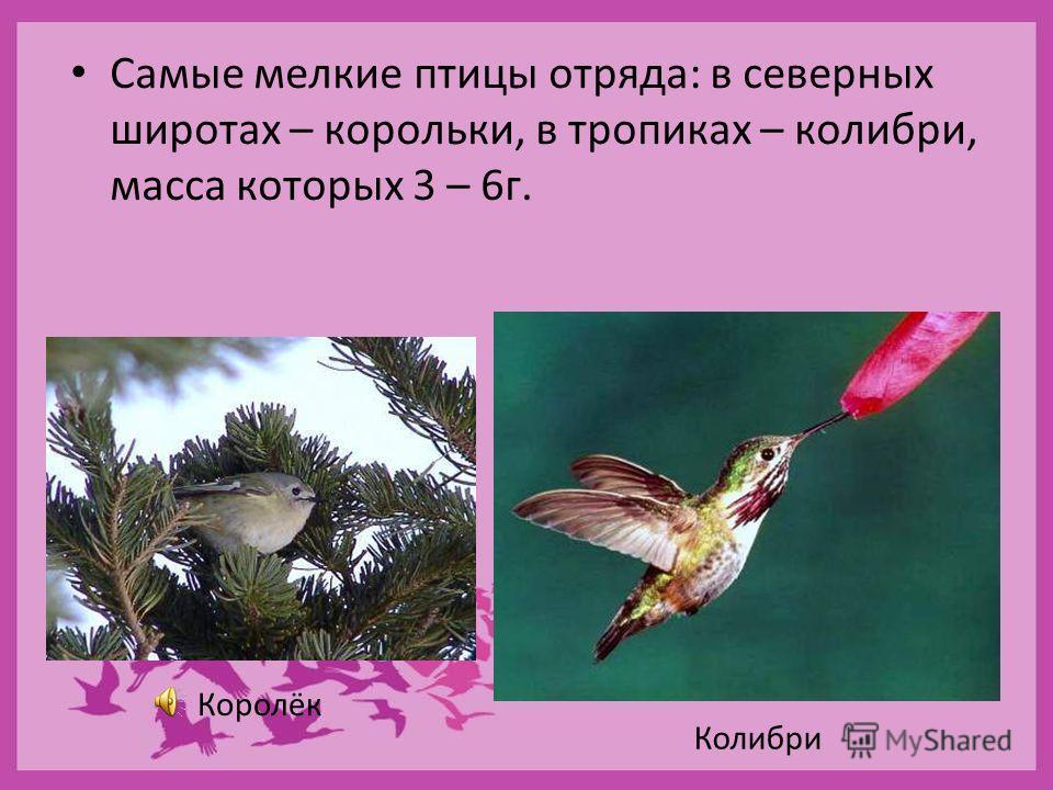 Самые мелкие птицы отряда: в северных широтах – корольки, в тропиках – колибри, масса которых 3 – 6г. Королёк Колибри