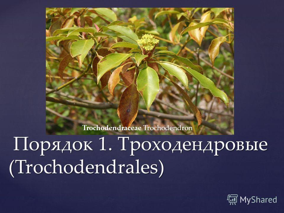 Порядок 1. Троходендровые (Trochodendrales) Порядок 1. Троходендровые (Trochodendrales) Trochodendraceae Trochodendron
