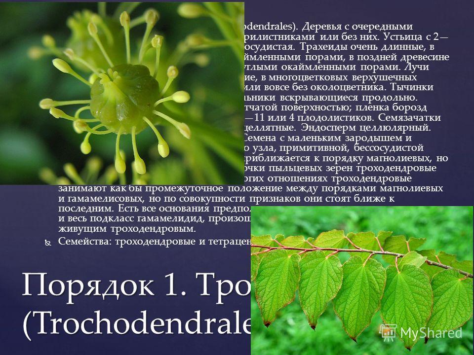 Порядок 1. Троходендровые (Trochodendrales). Деревья с очередными цельными листьями, снабженными прилистниками или без них. Устьица с 2 5 побочными клетками. Ксилема бессосудистая. Трахеиды очень длинные, в ранней древесине с лестничными окаймленными