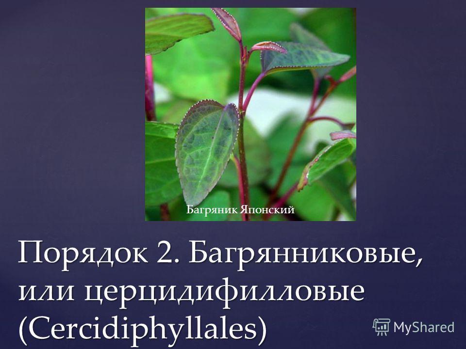 Порядок 2. Багрянниковые, или церцидифилловые (Cercidiphyllales) Багряник Японский