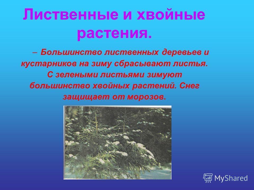 –Большинство лиственных деревьев и кустарников на зиму сбрасывают листья. С зелеными листьями зимуют большинство хвойных растений. Снег защищает от морозов. Лиственные и хвойные растения.