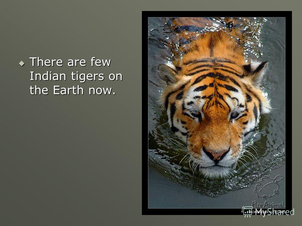 There are few Indian tigers on the Earth now. There are few Indian tigers on the Earth now.