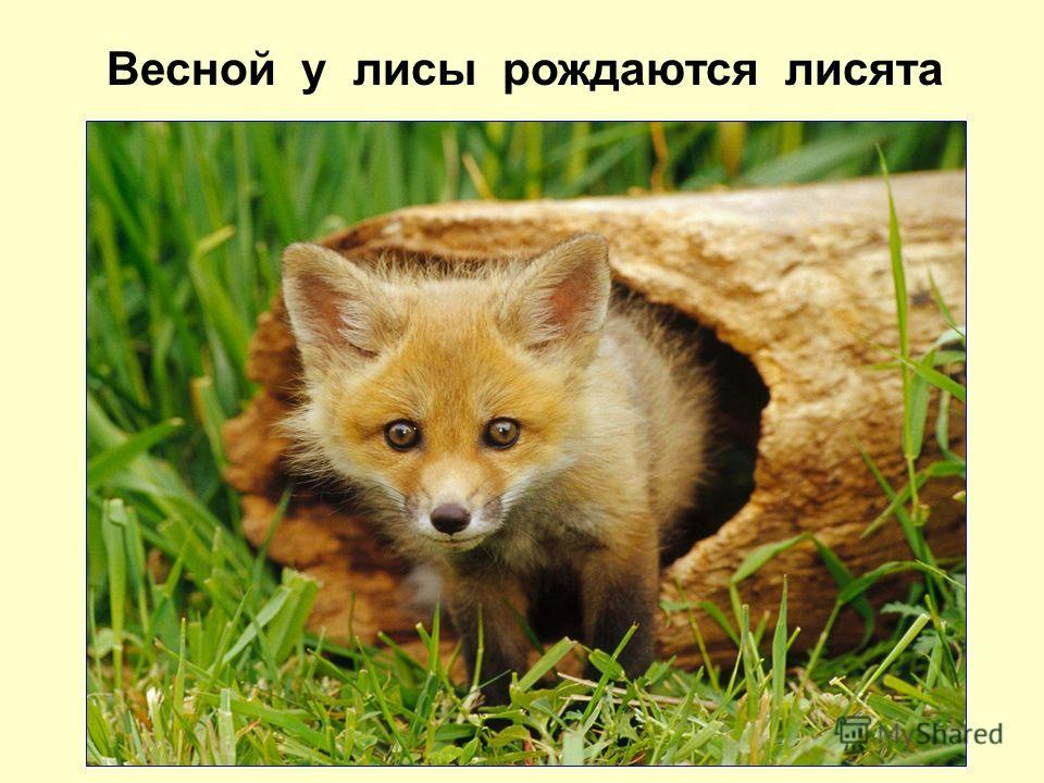 Весной у лисы рождаются лисята