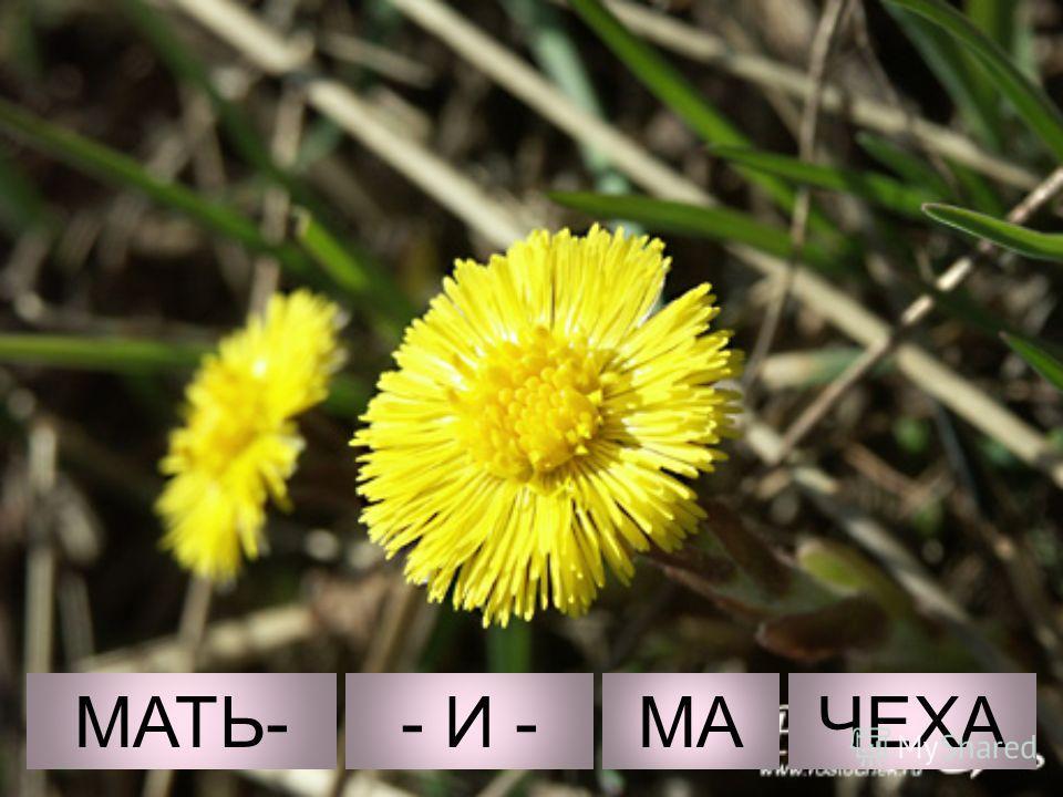МАТЬ-- И -МАЧЕХА