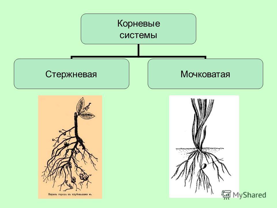 Корневые системы СтержневаяМочковатая
