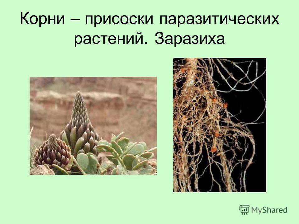 Корни – присоски паразитических растений. Заразиха