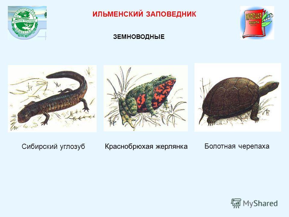 Сибирский углозуб Краснобрюхая жерлянка ИЛЬМЕНСКИЙ ЗАПОВЕДНИК ЗЕМНОВОДНЫЕ Болотная черепаха